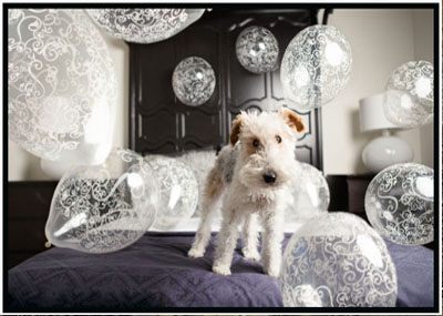 Featured image of Schnauzer on a bed